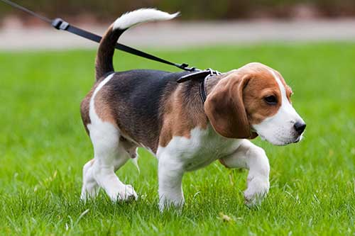 Beagle being walked on a leash.