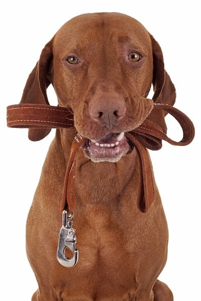 Brown dog holds leash in mouth ready for a walk