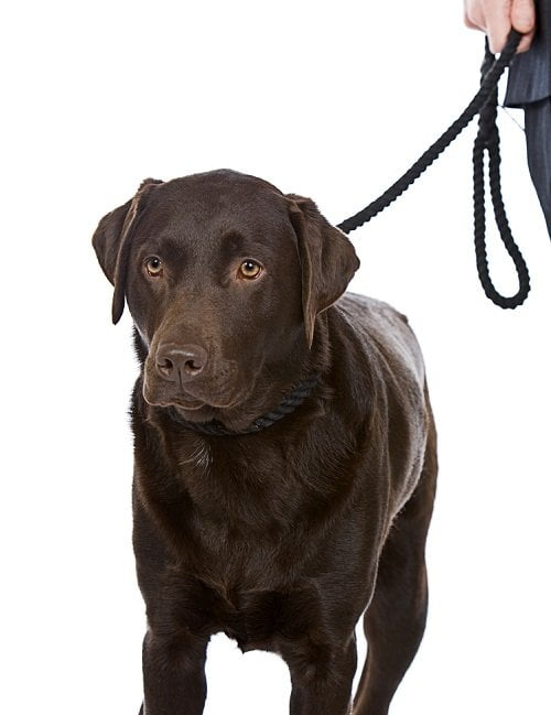 Chocolate Brown Labrador with leash on going for a walk.